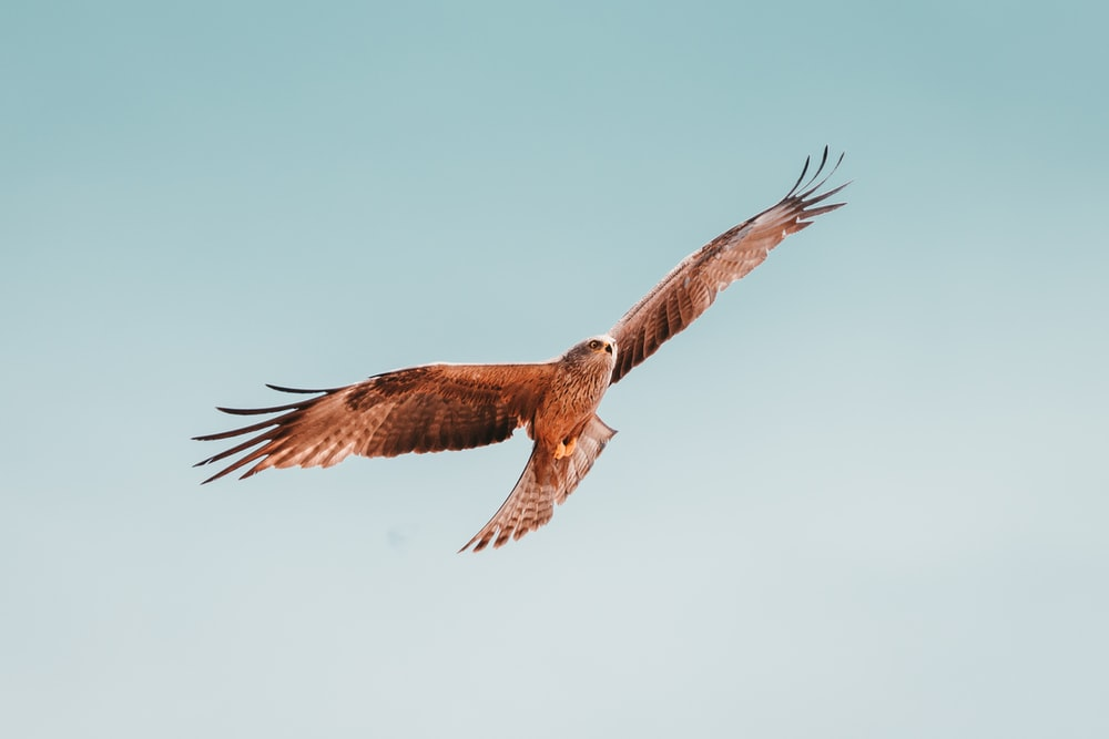 flying brown and white bird under white sky
