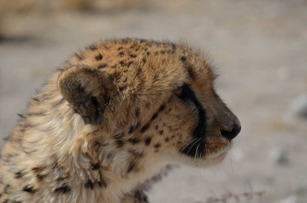 shallow focus photography of cheetah lying on ground