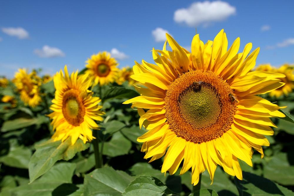 closeup photo of yellow sunflower field under blue sky