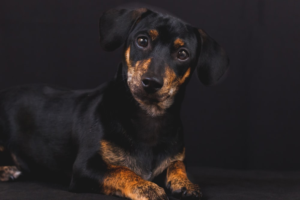 adult black and tan dachshund laying on black surface