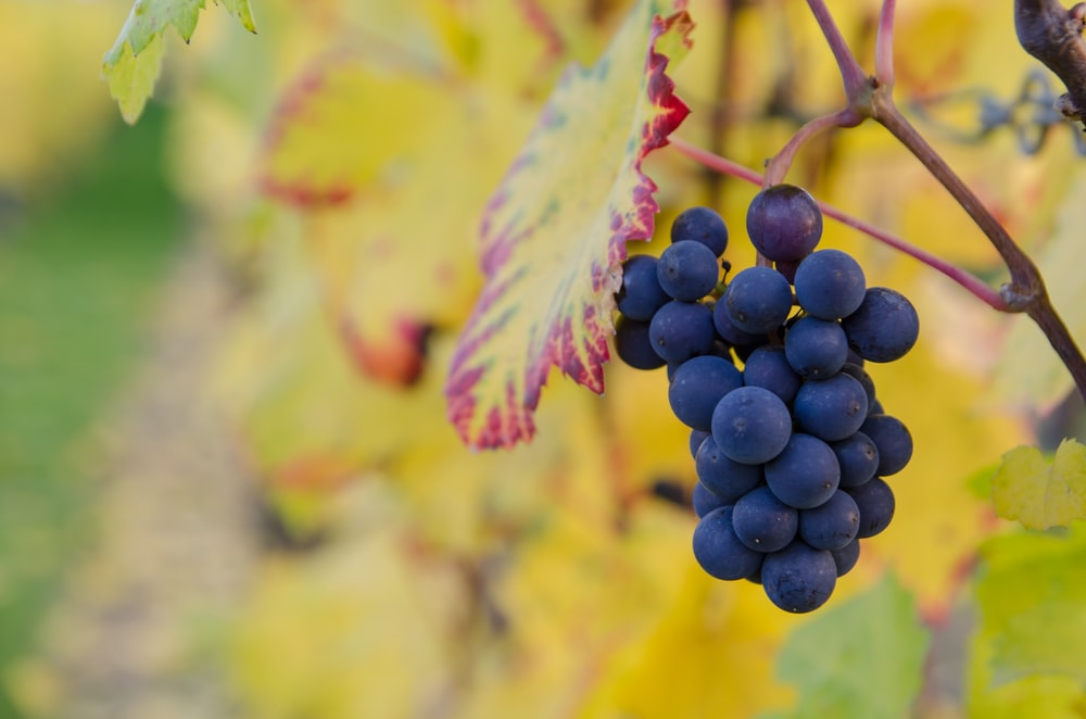 selective focus photography of purple grapes at daytime