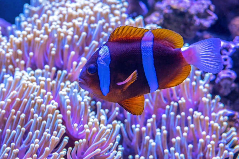 brown and blue fish near anemone