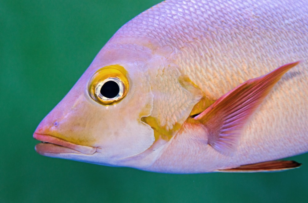 selective focus photo of pink and white fish