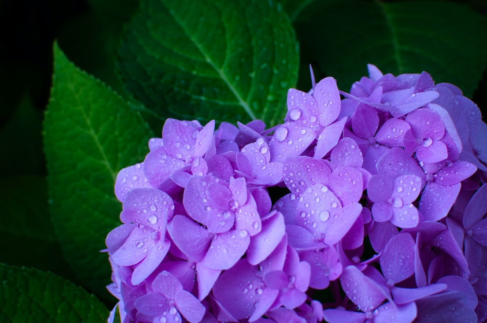 closeup photo of purple mophead hydrangea flower