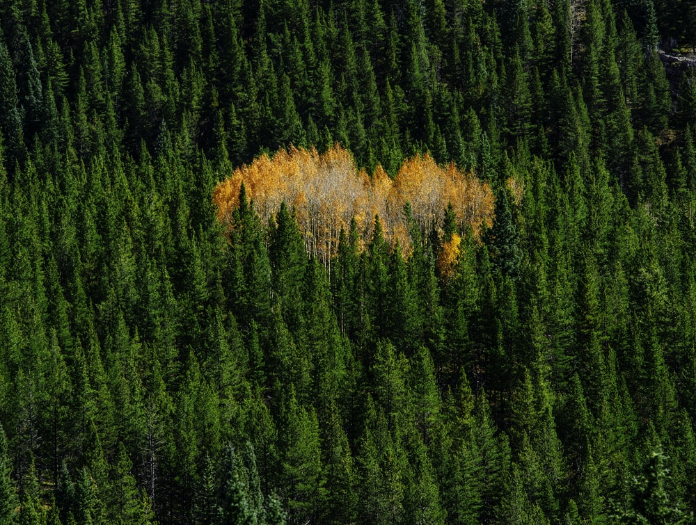 green pine trees on fire at daytime
