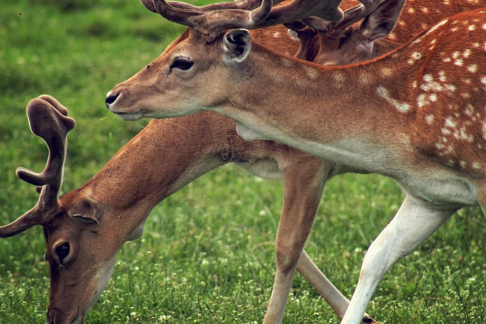 two deer walking on grass
