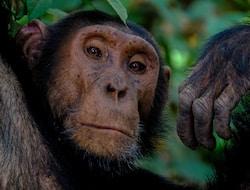 Kibale Forrest National Park, Schimpansen¬ Tracking und Bigodi-Sumpf-Wanderung