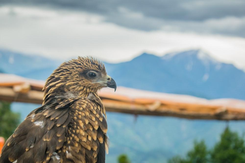 macro shot photography of brown bald eagle
