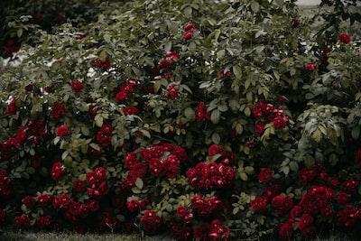 red petal flower belarus zoom background