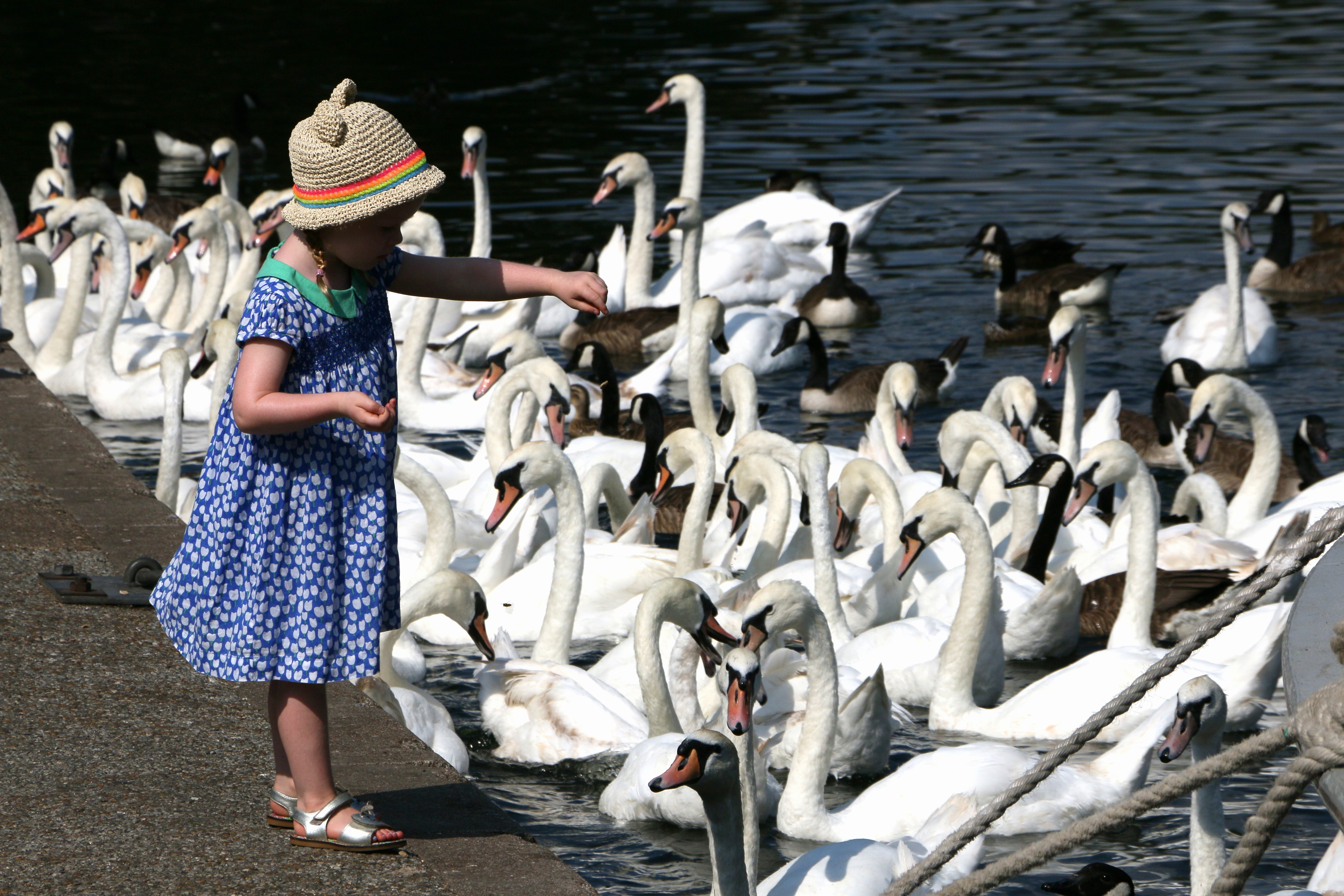 girl feeding flock of swan and geese on body of water during daytime