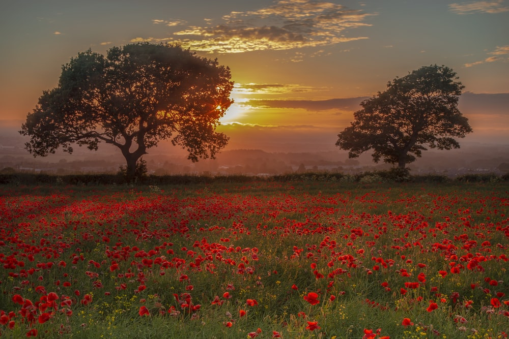 red petaled flowers during golden hour