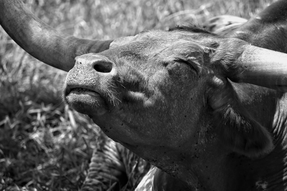 greyscale photo of water buffalo