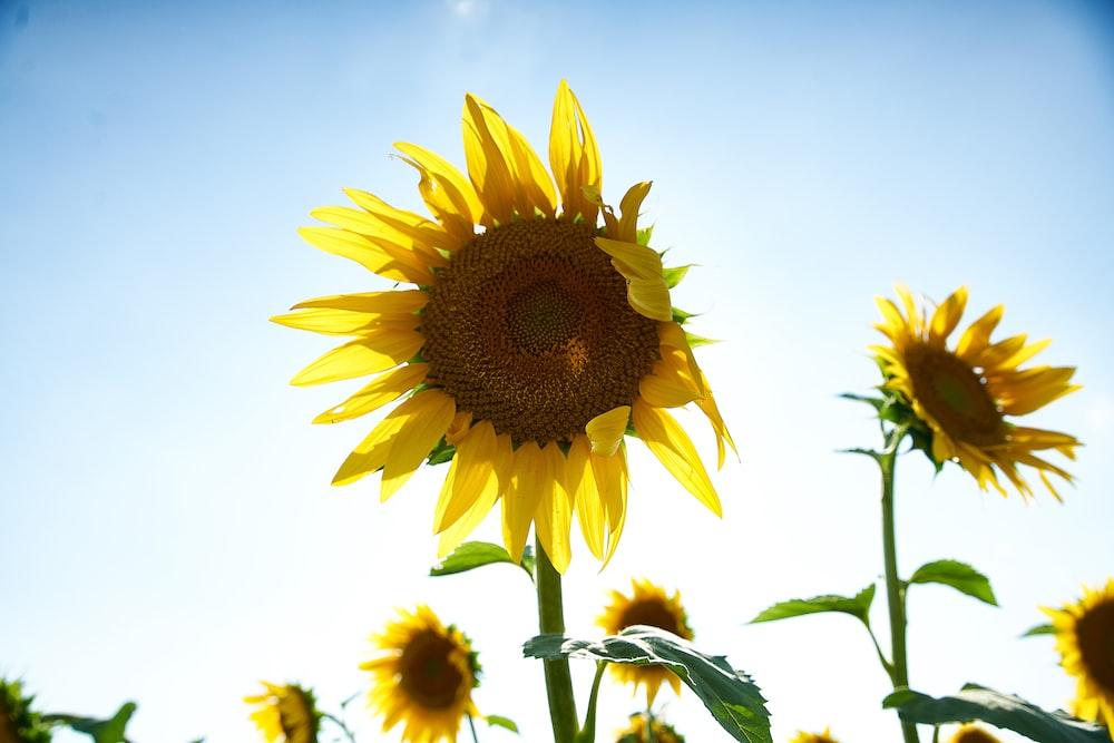 photo of sunflower field
