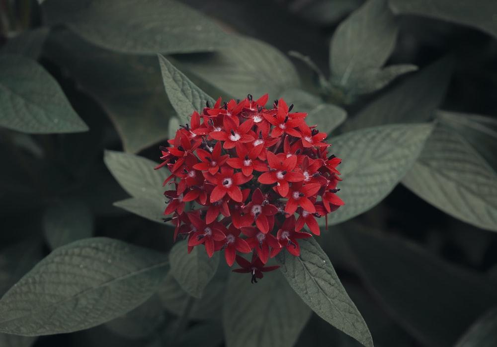 closeup photo of red ixora flower