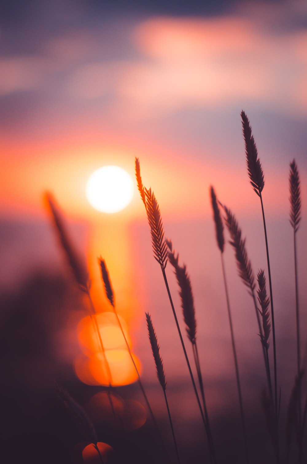 wheat grain in focus photography during sunset