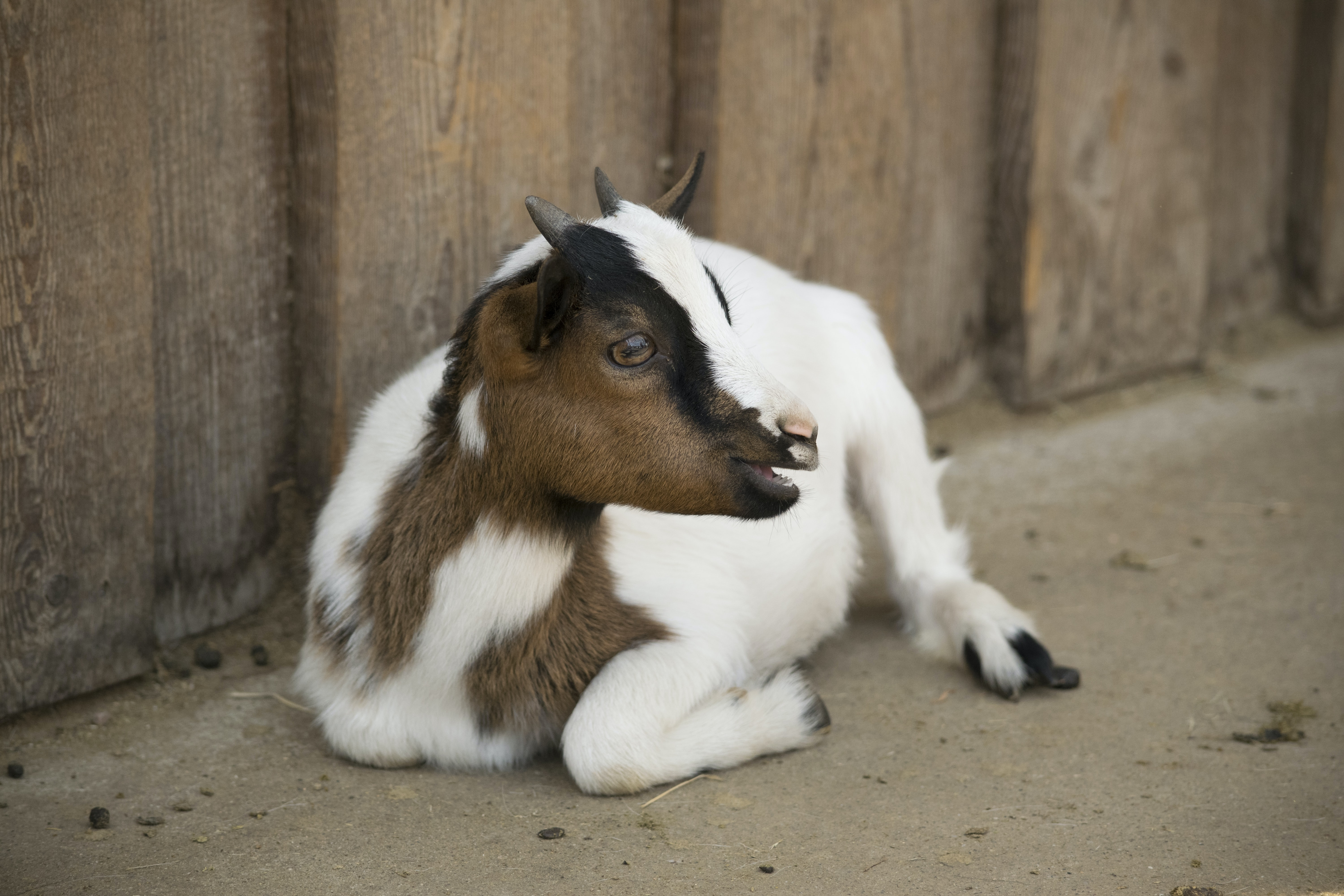 focus photo of white and brown goat laying on brown surface