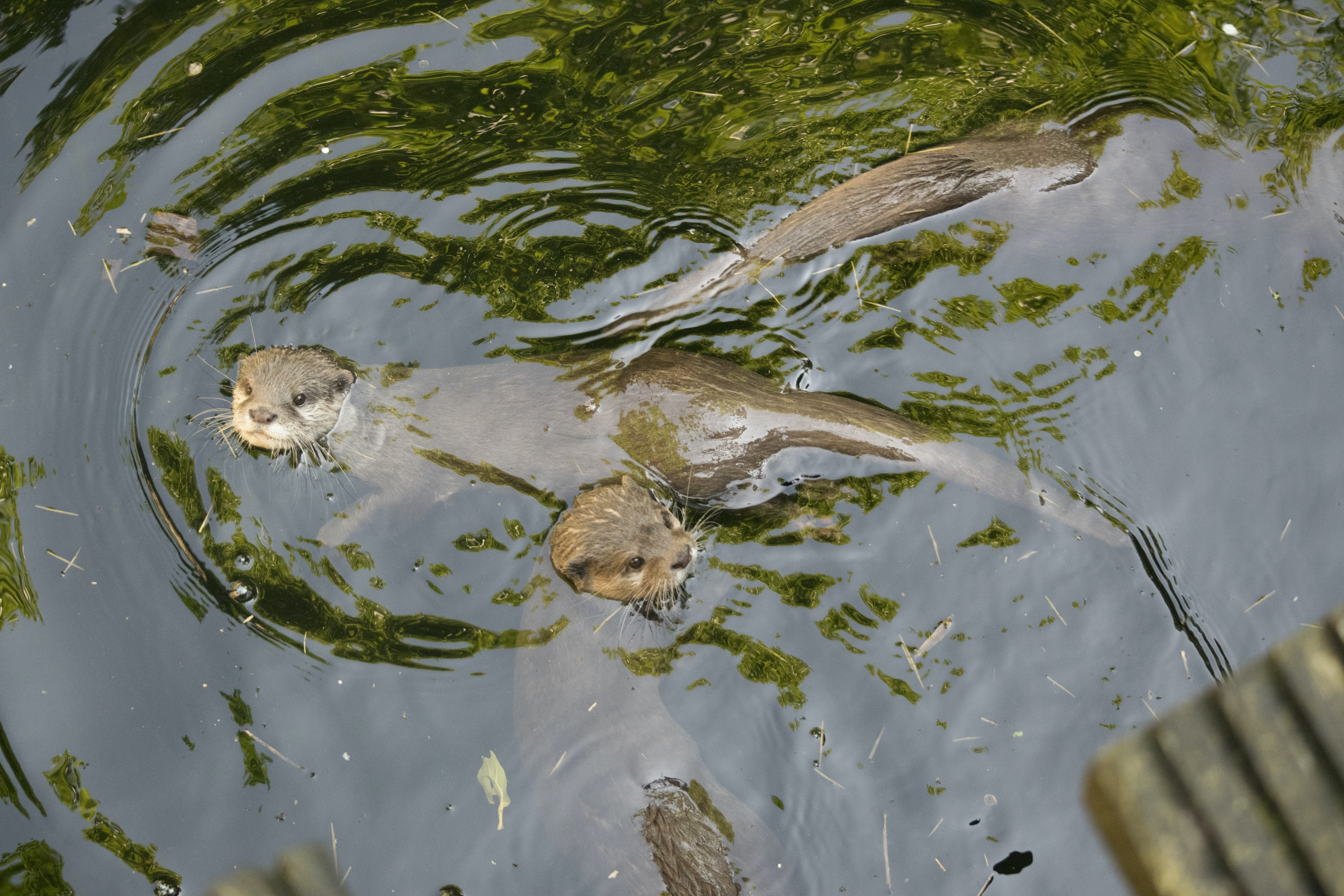 three brown otters soaked on water