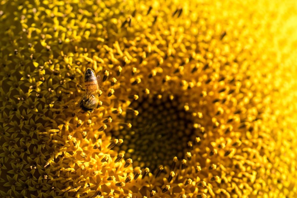 macro photography of bee on yellow flower