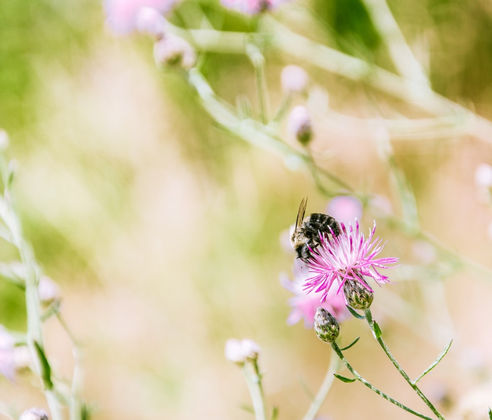 black bee on pink petaled flower