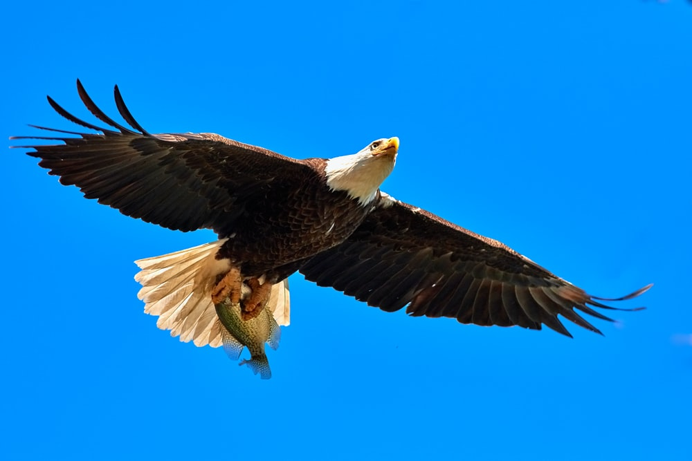 Eagle Flying In The Sky Photo Free Eagle Image On Unsplash