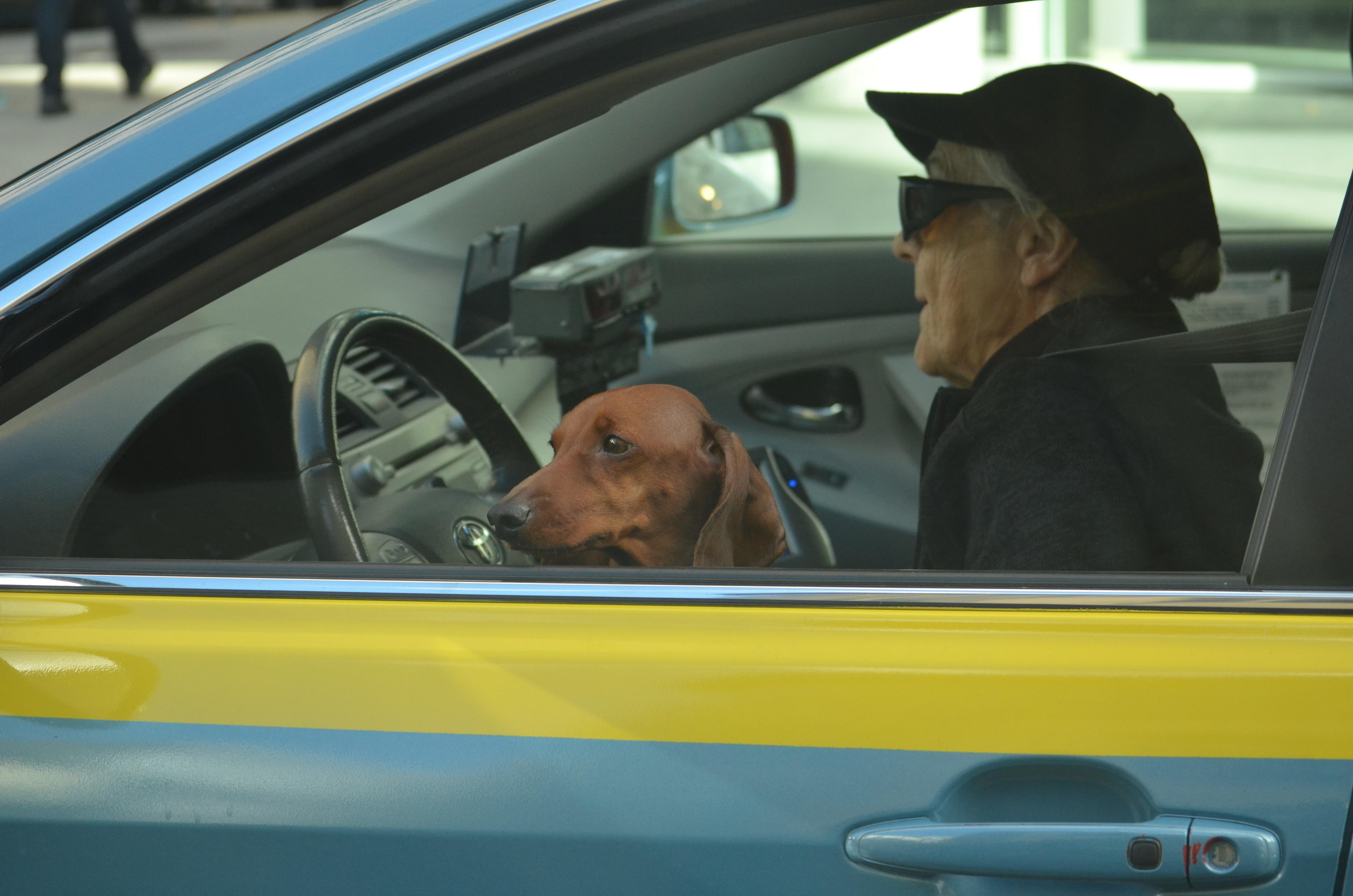 brown dog in front of black steering wheel