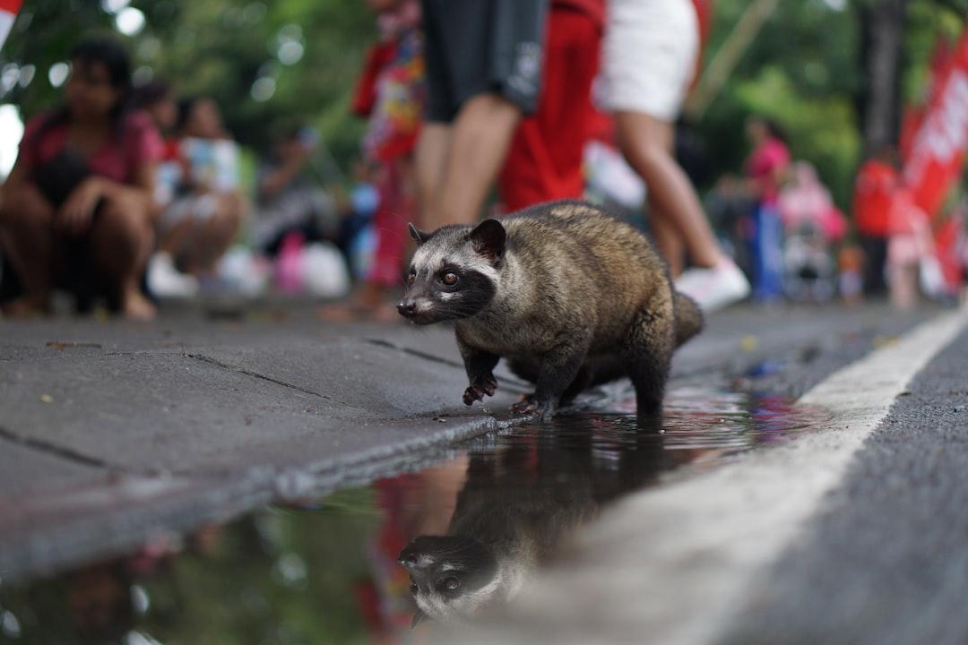 Somebody bring his luwak pet to CFD in lapangan Renon