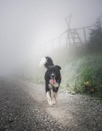 black and white dog walking on walkway