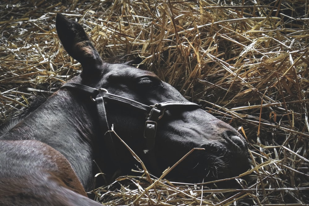 black and brown horse lying on hay