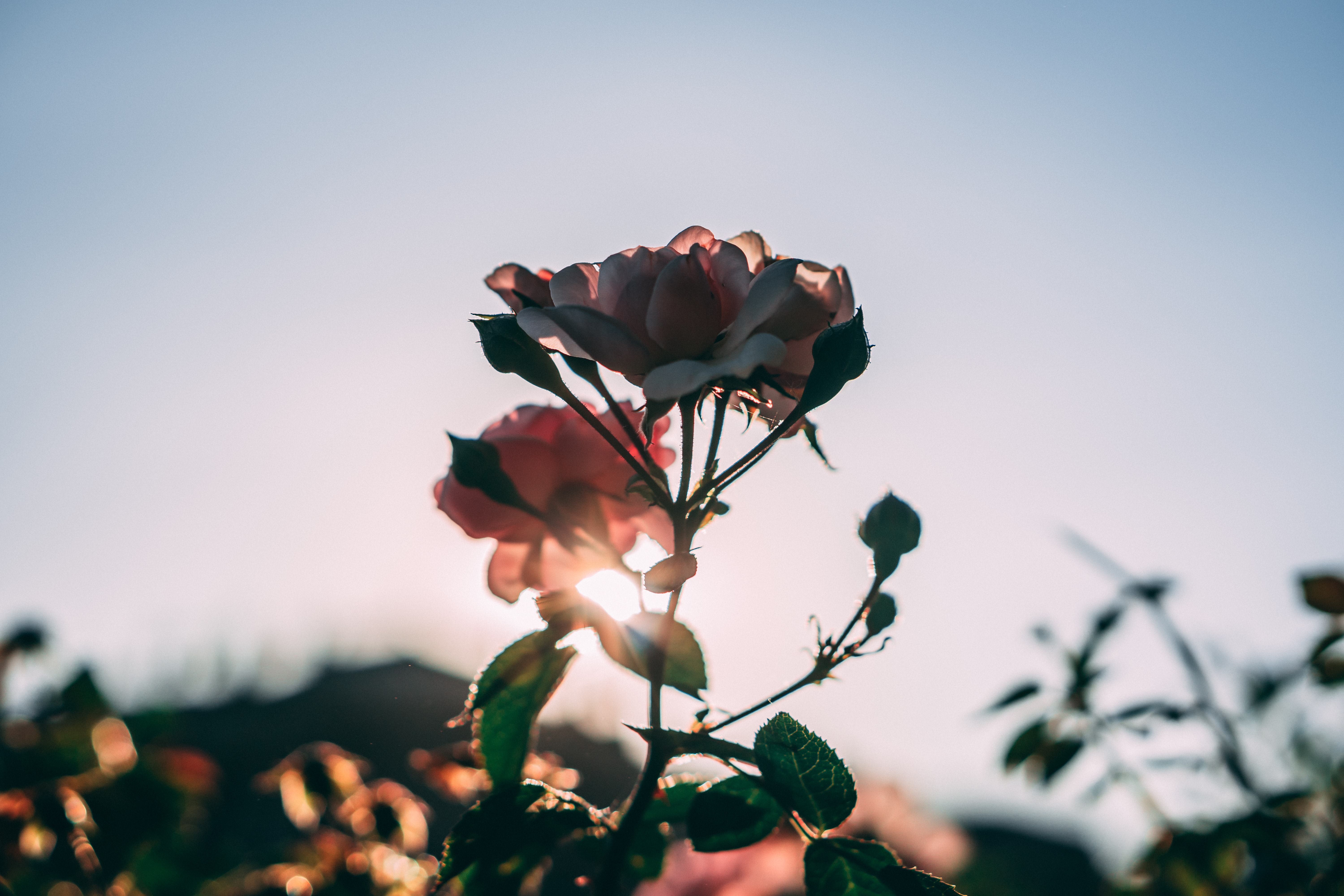 pink rose blooming at golden hour