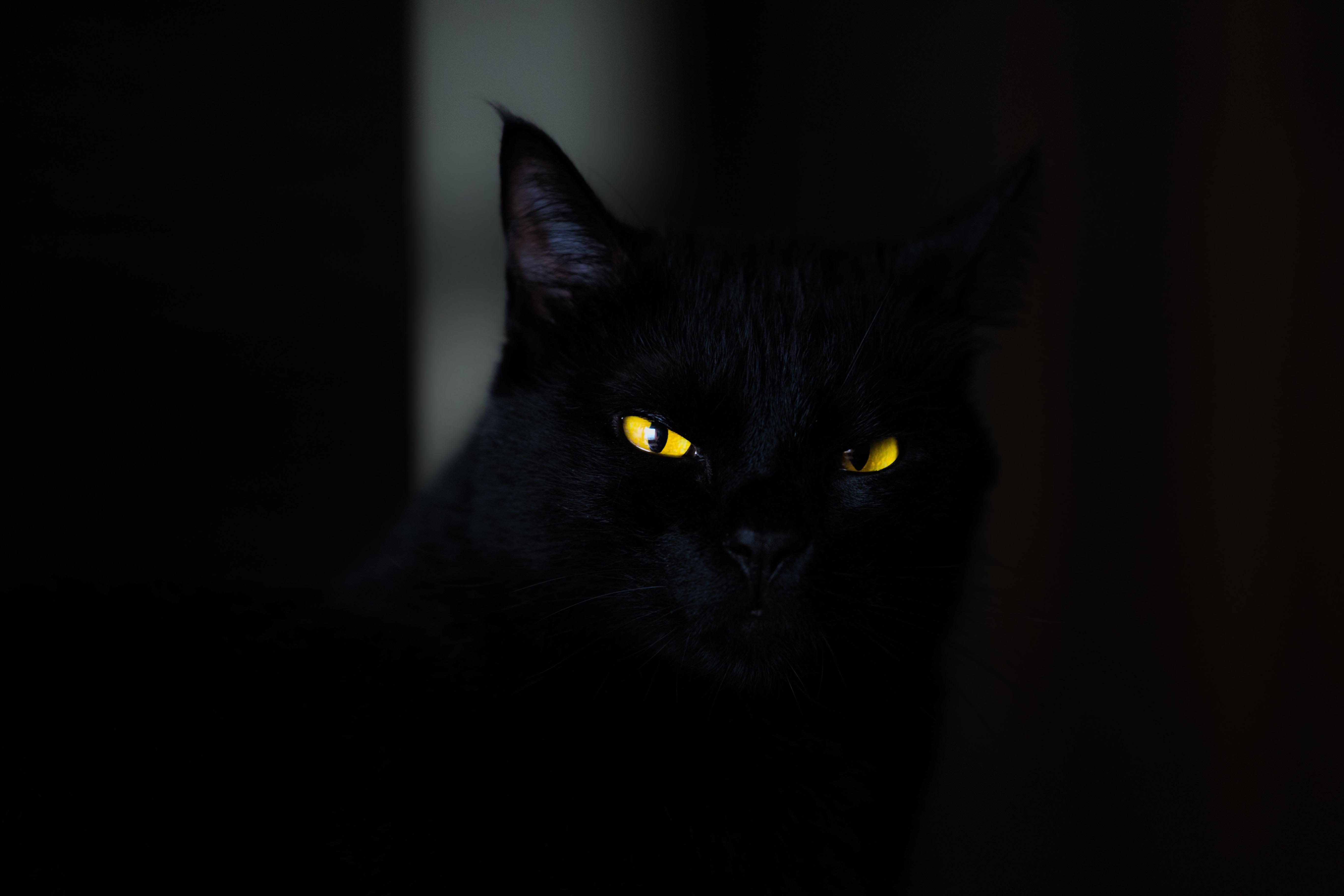 closeup photo of black cat