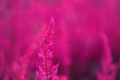 selective focus photography of pink petaled flower magenta teams background