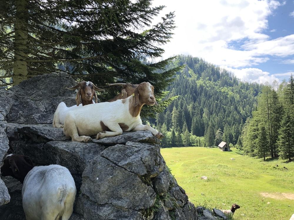 goats lying on rocks