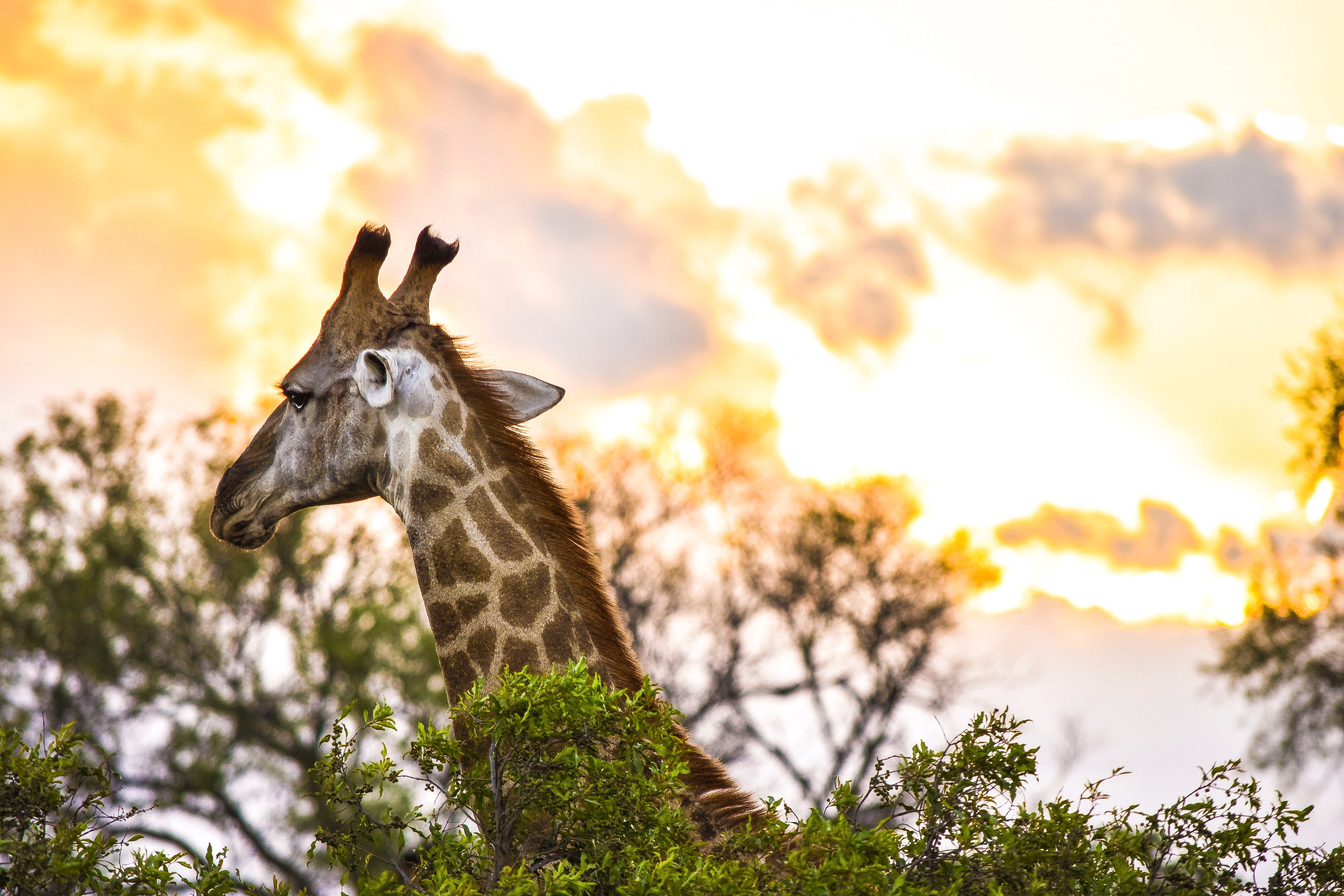 shallow focus photo of giraffe