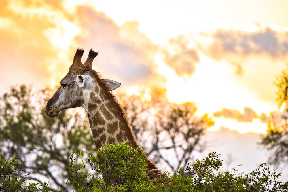 shallow focus photo of giraffe