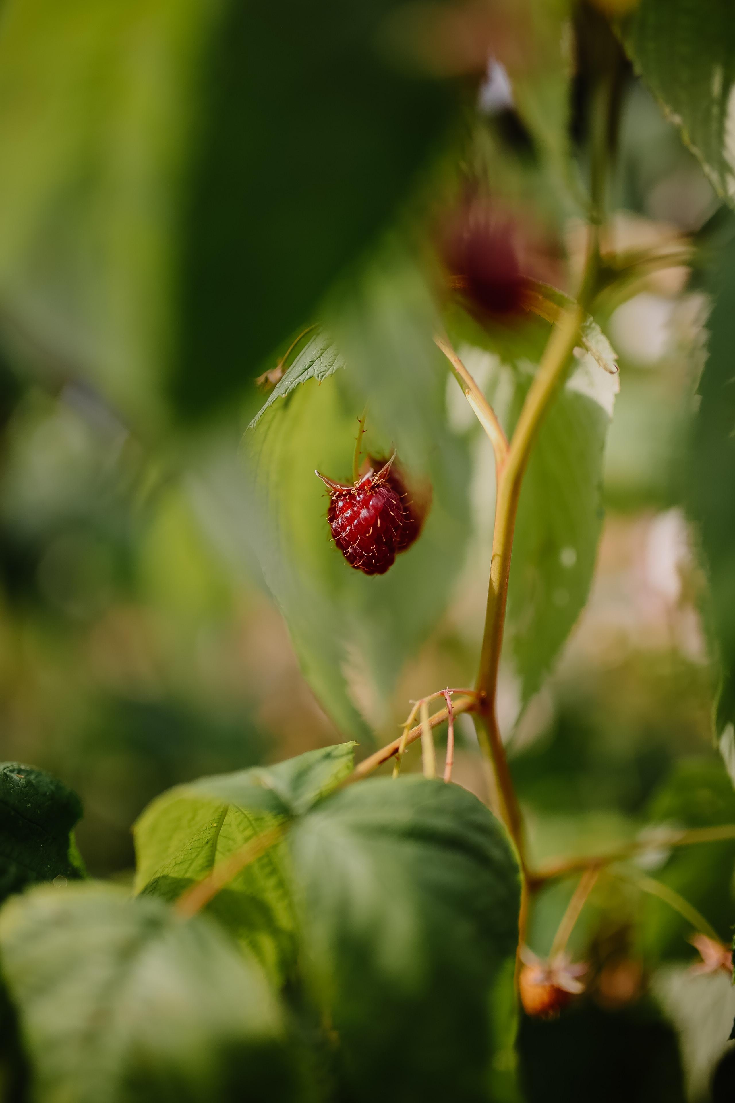 selective focus strawberry fruit