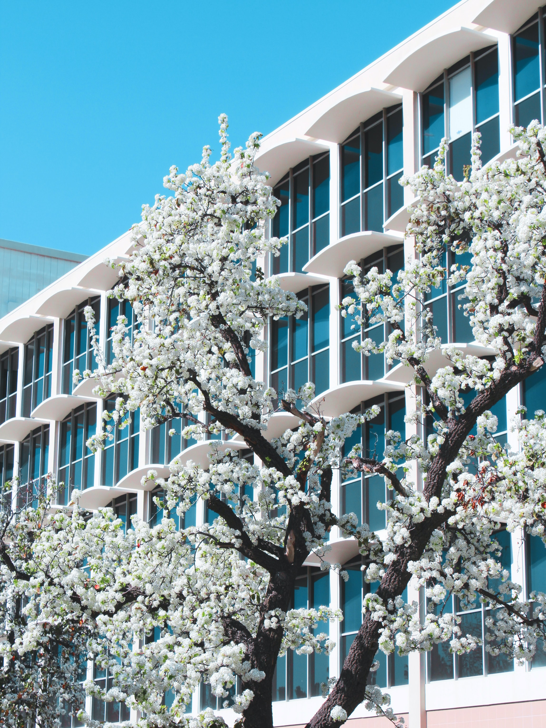 white petaled flowers in front of building
