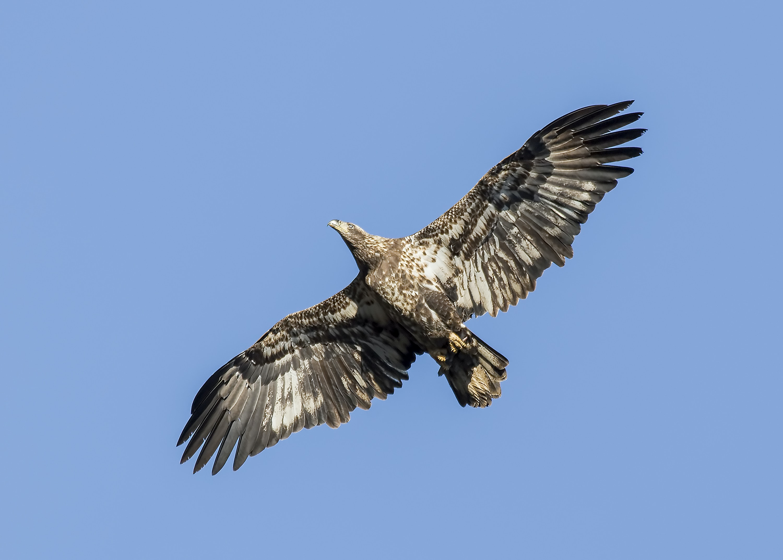 close-up photo of flying eagle