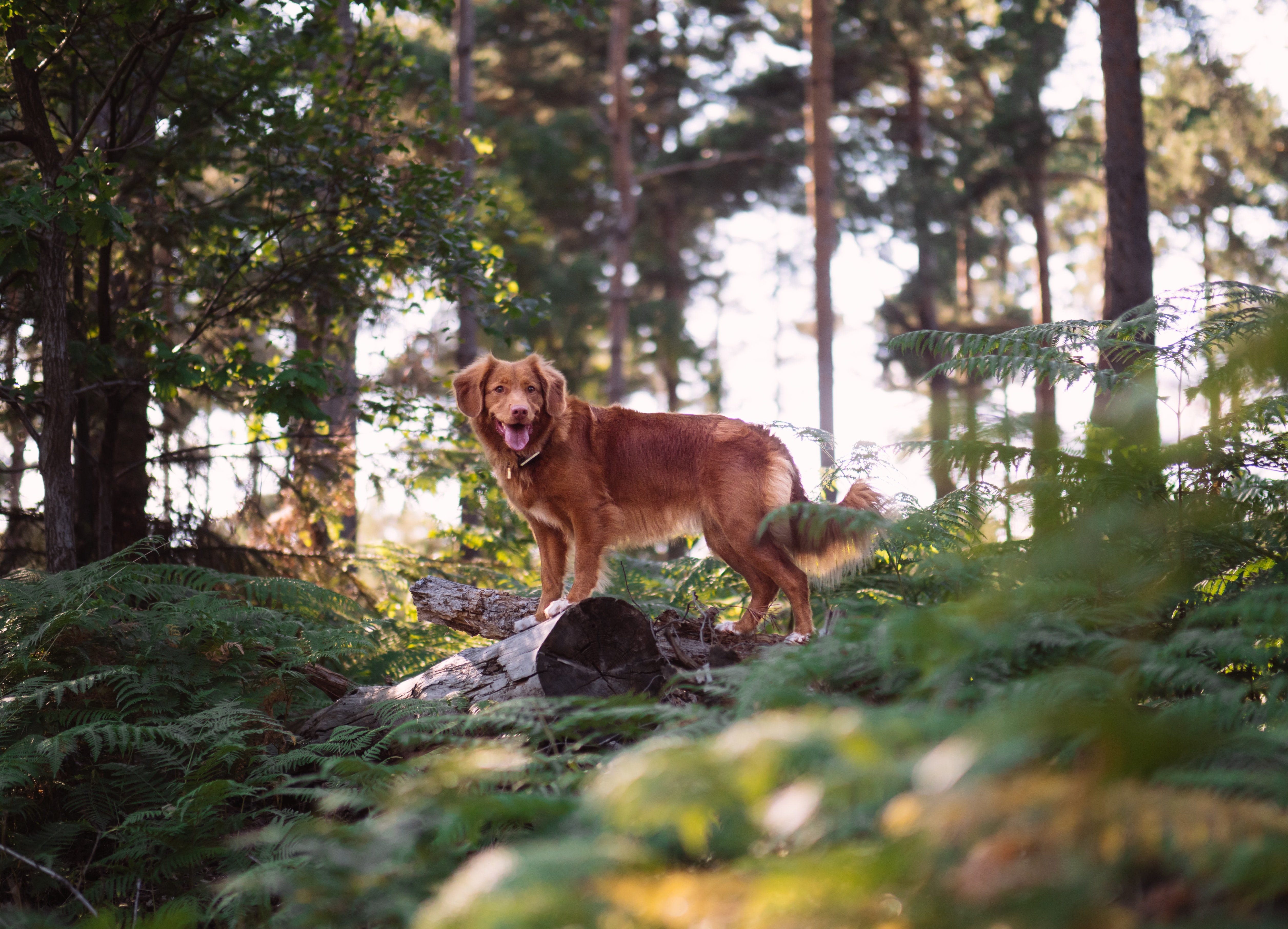 long-coated brown dog on forest