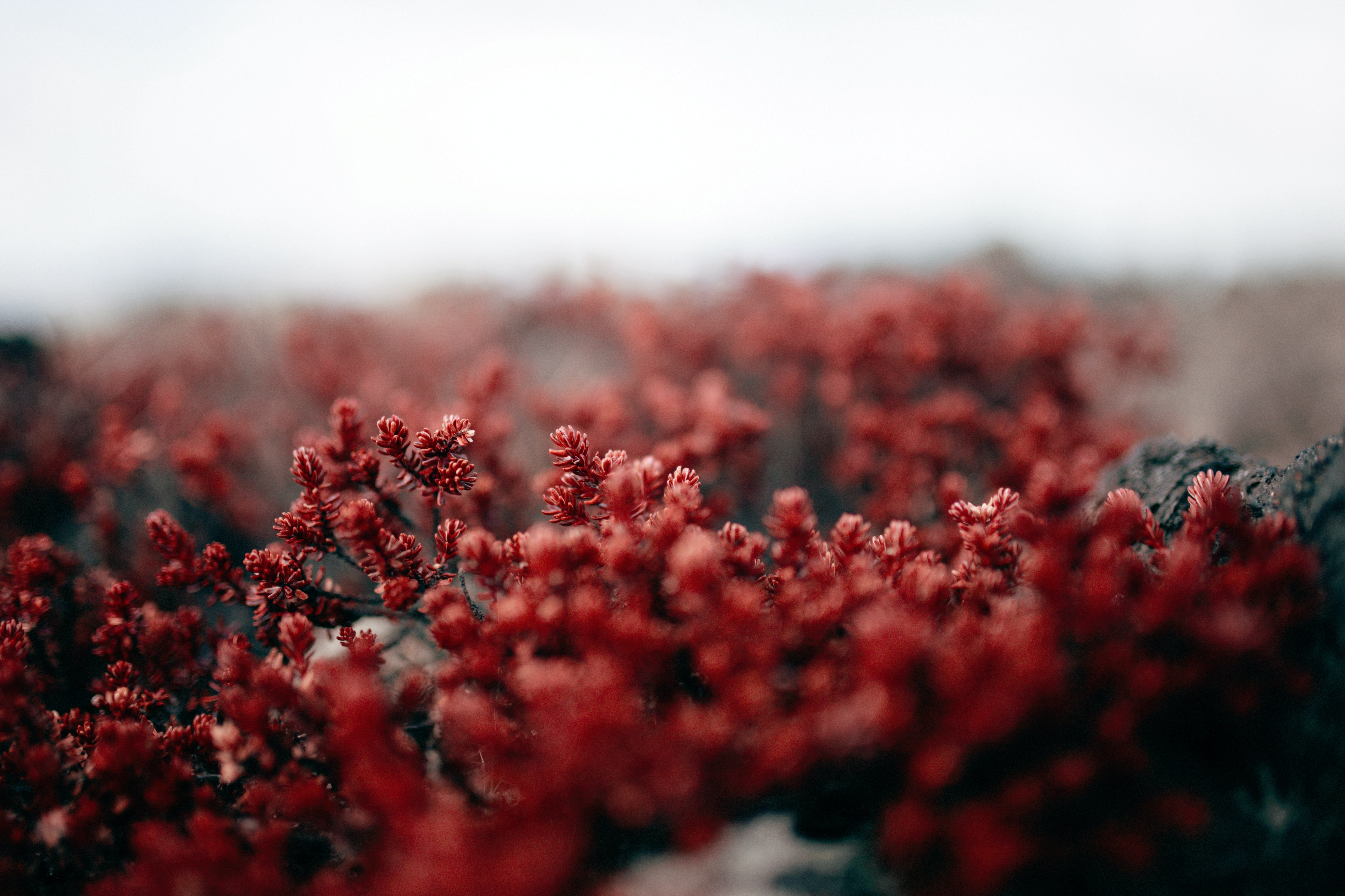 red petaled flowers in closeup photography