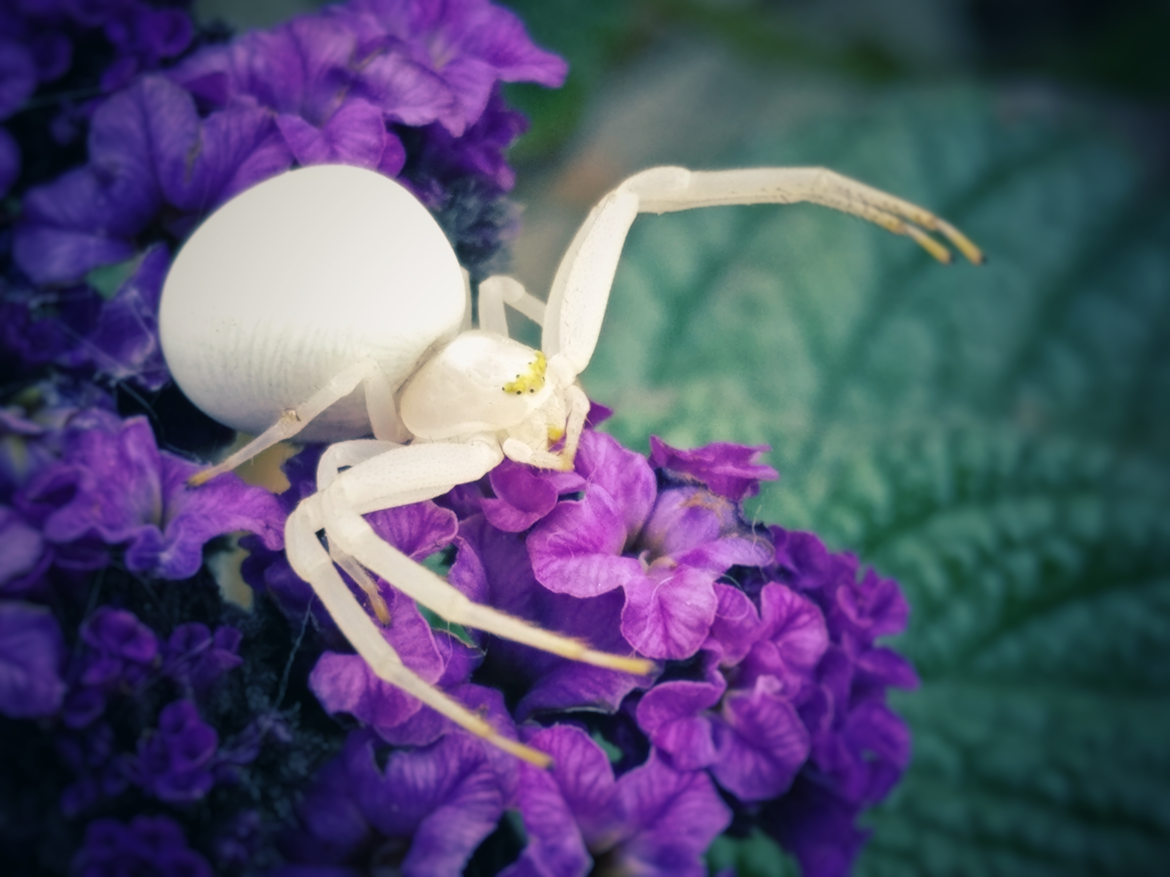 focused photo of white spider on purple flower