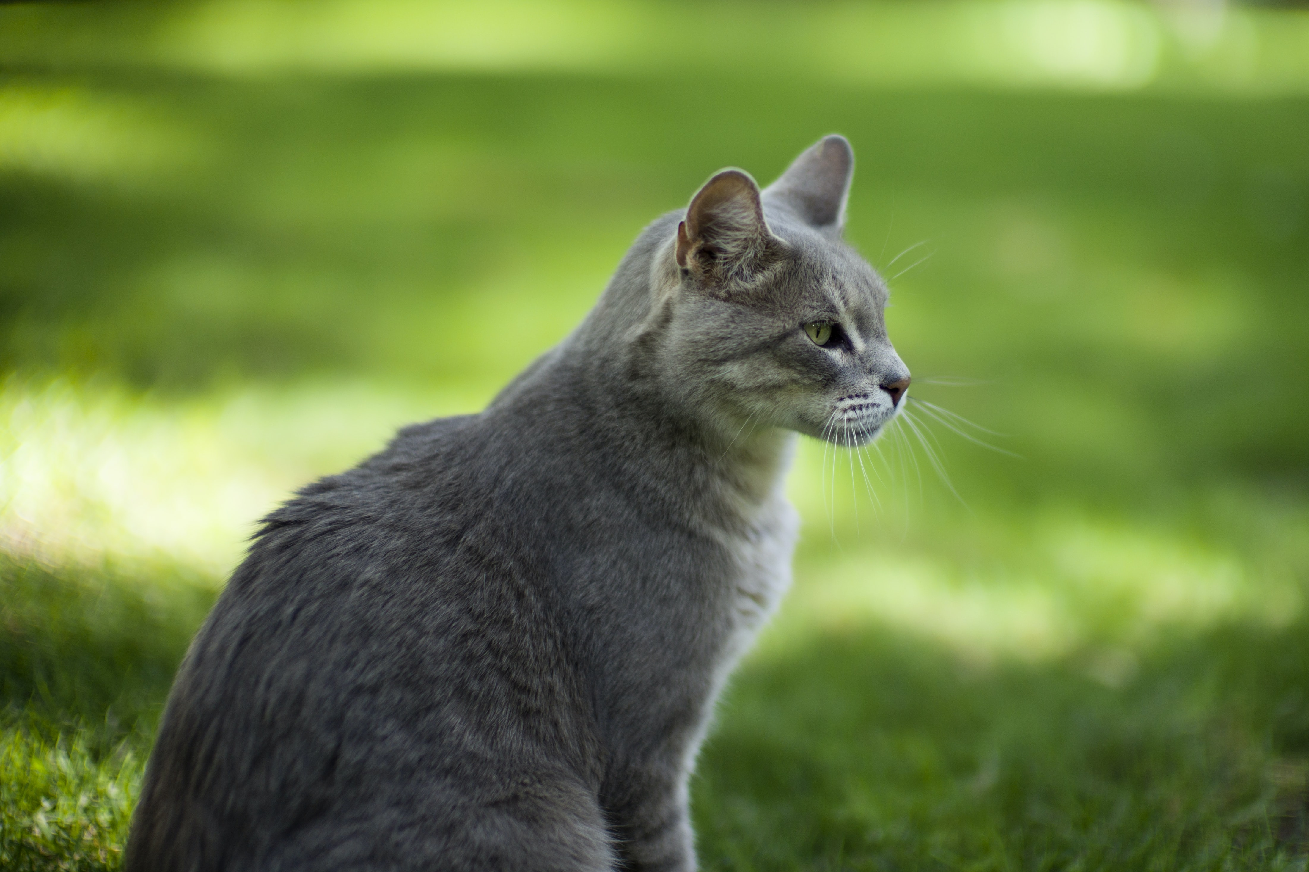 selective focus photography of silver tabby cat standing on grass field