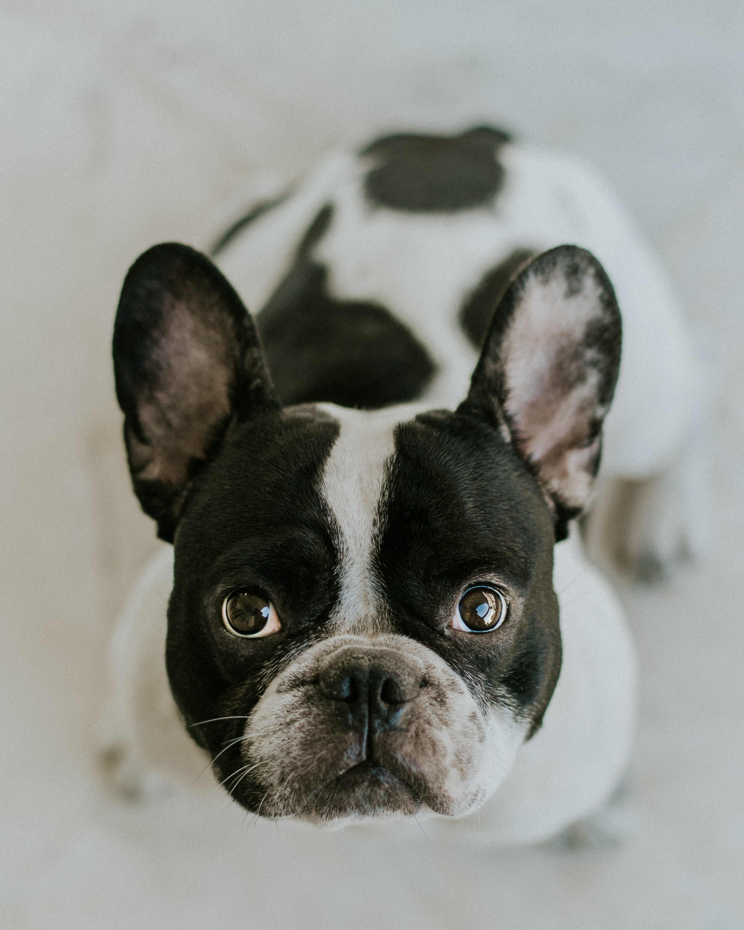 adult Boston terrier sitting on white surface