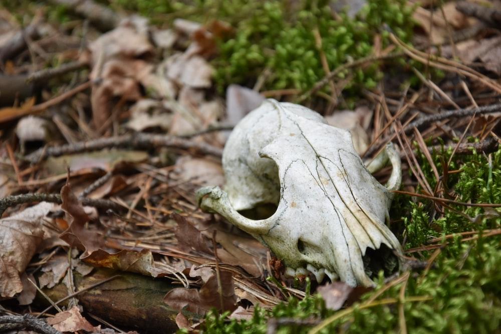 white animal skull on brown leaves