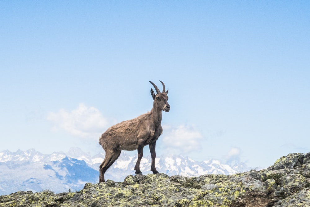 brown deer standing on mountain during daytime