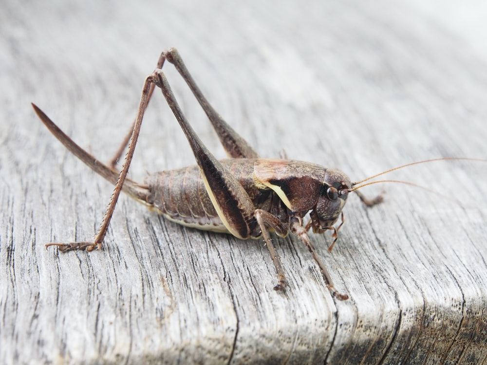 grasshopper on wooden surface