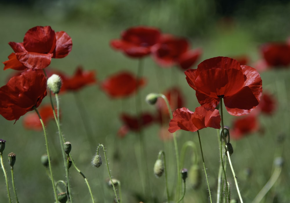 Poppy pictures download free images on unsplash red flowers in garden mightylinksfo