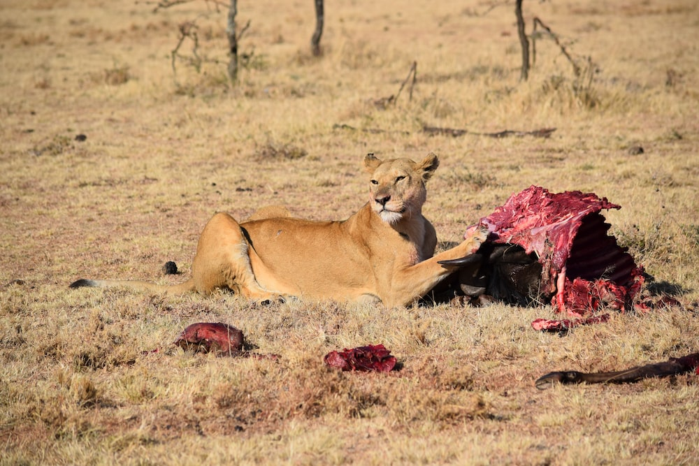 lioness eating animal meat