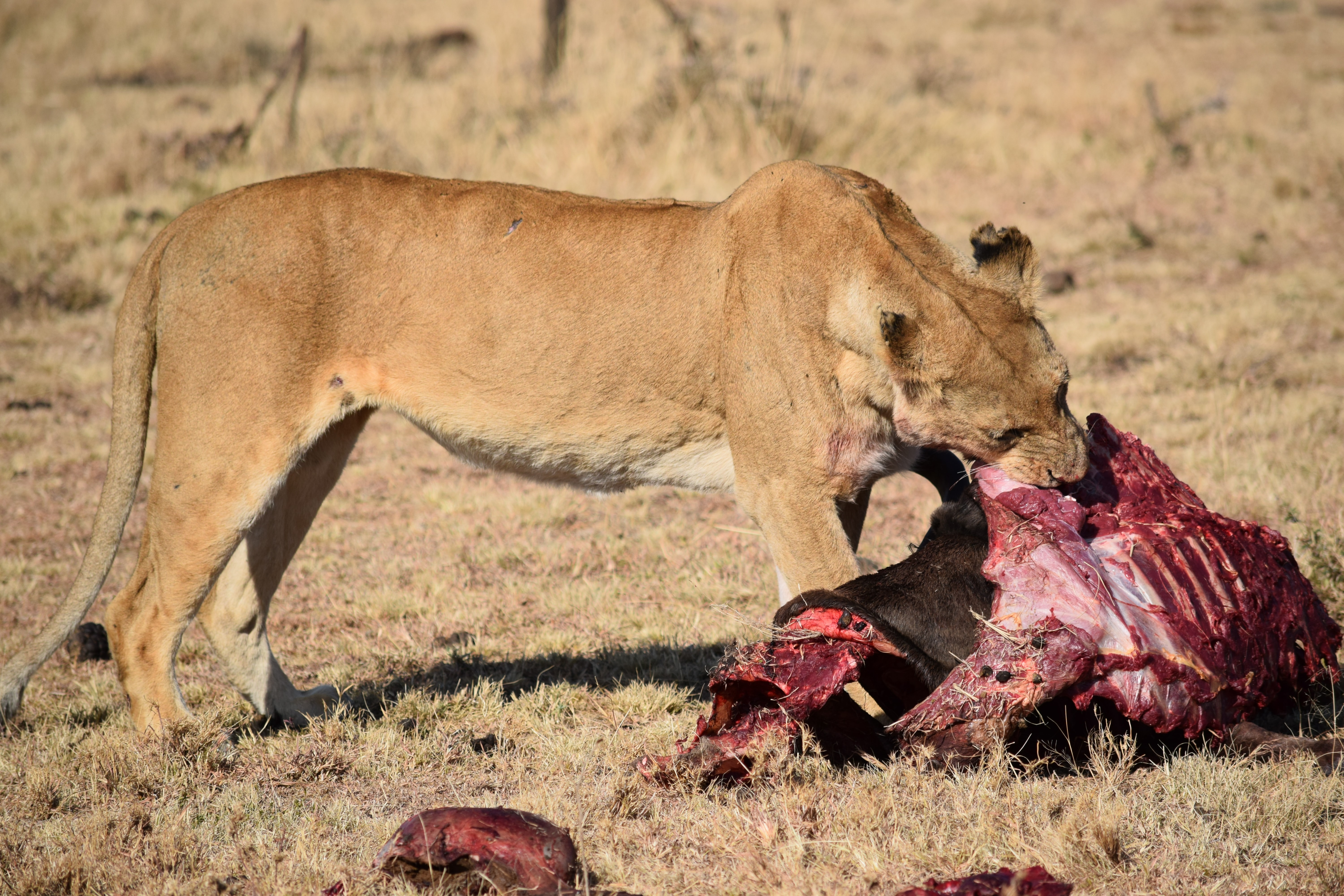 lioness eating meat at daytime
