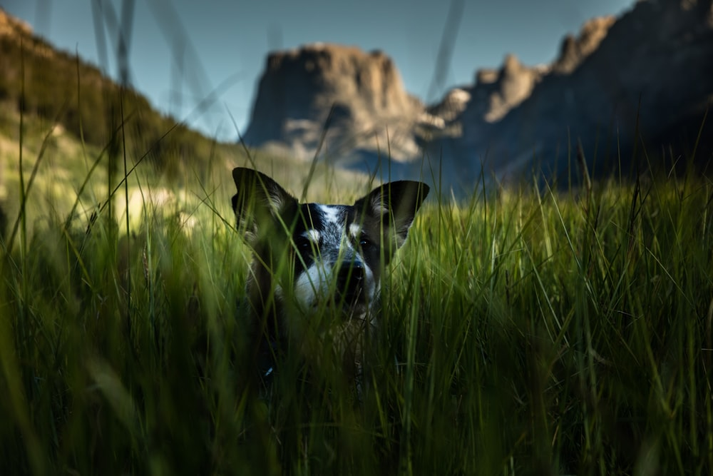 white and black dog hiding on grass field