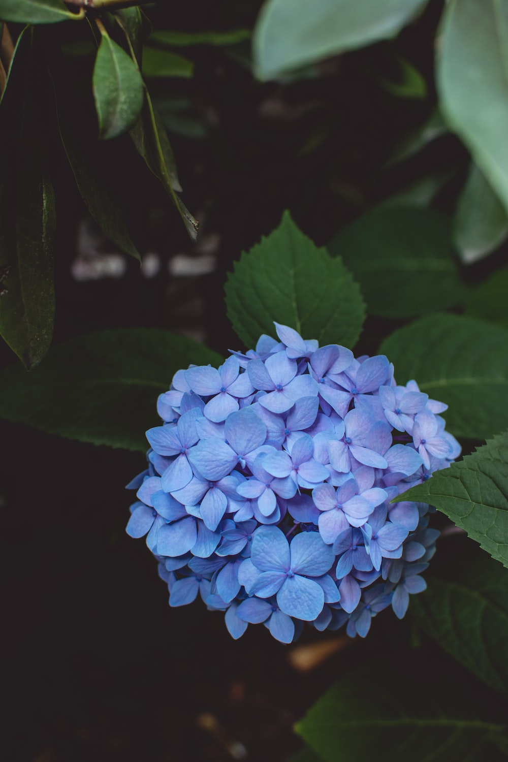 Hydrangea pictures hq download free images on unsplash green leafed plant with purple flowers izmirmasajfo